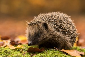 Hedgehog Food - European and Pygmy